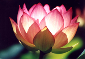 Hinduism why do we consider the lotus as special mightylinksfo